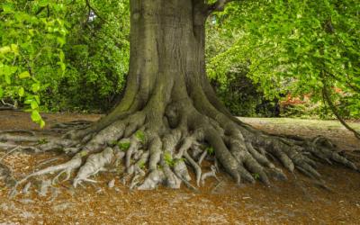 Storm maakt dat bomen dieper wortelen